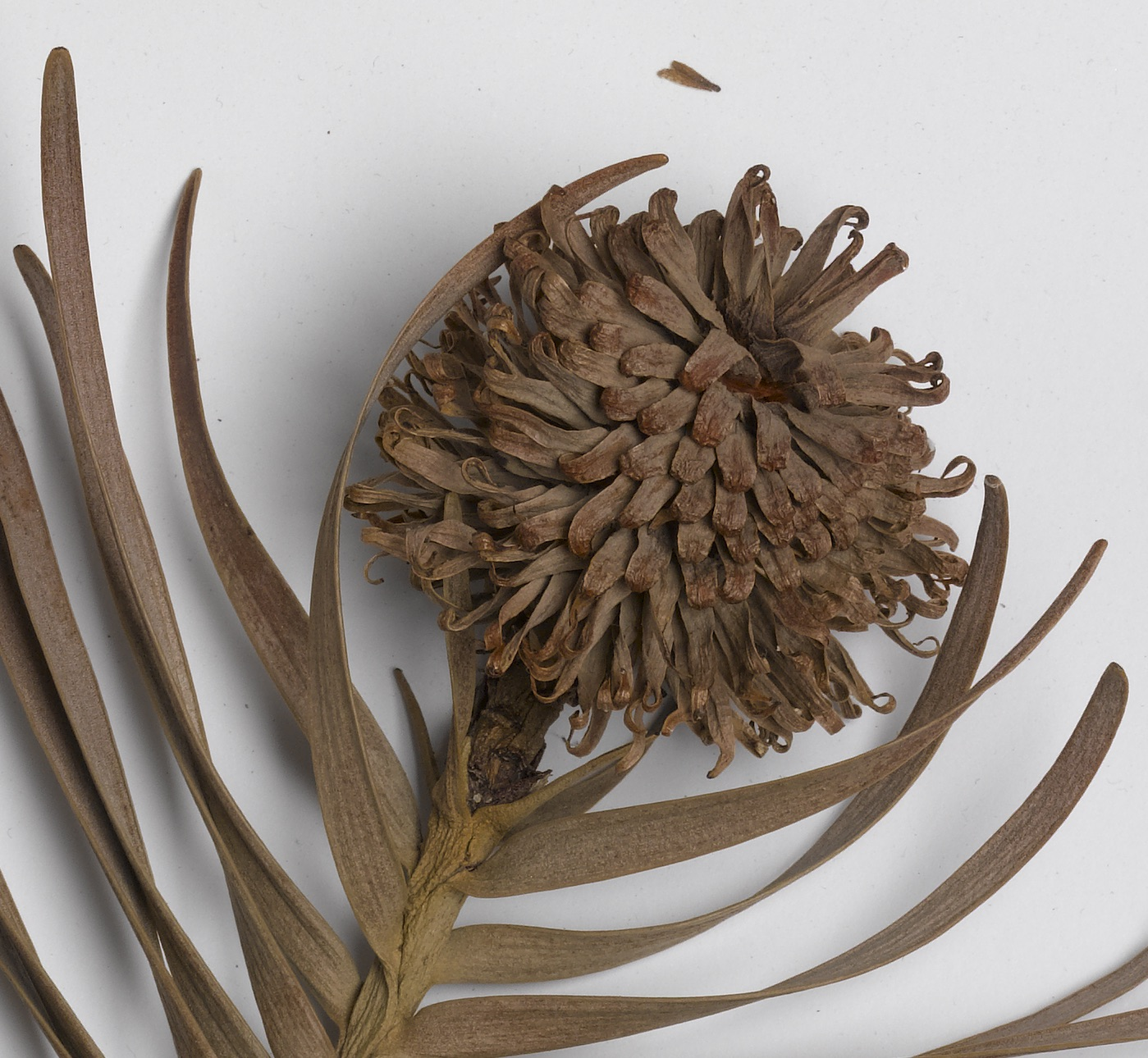Image of New Shoots: Bonny Cassidy Draws Inspiration from the Herbarium